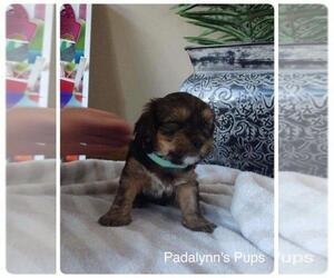 Morkie Puppy for sale in LAKEVILLE, MN, USA