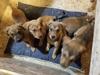 Chesapeake Bay Retriever-Rottweiler Mix Puppy For Sale in ANOKA, MN, USA