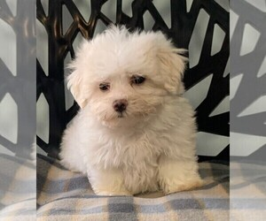 Maltese Puppy for sale in CLARE, IL, USA
