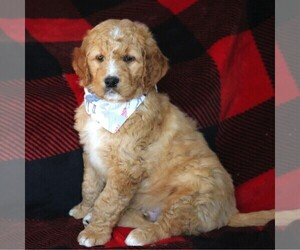 Goldendoodle Puppy for sale in FREDERICKSBRG, PA, USA
