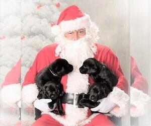 Labrador Retriever Puppy for Sale in ENCINITAS, California USA