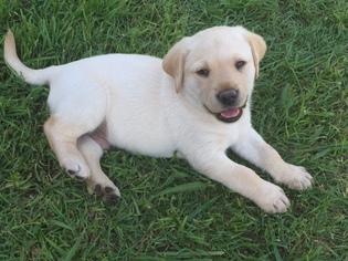Labrador Retriever Puppy for sale in HASLET, TX, USA