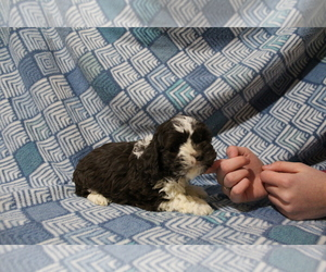 Cockapoo Puppy for sale in JOICE, IA, USA