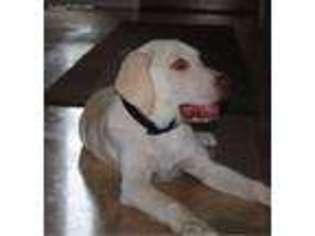 View Ad: Labrador Retriever Puppy for Sale near Texas