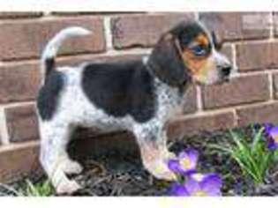 View Ad Beagle Puppy For Sale Near Pennsylvania Harrisburg Usa