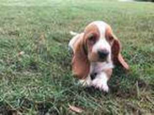View Ad Basset Hound Puppy For Sale South Carolina Westminster Usa