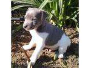 Rat Terrier Puppy For Sale near Clovis, CA, USA