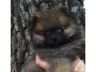 View Ad Pomeranian Puppy For Sale Oklahoma Ardmore Usa