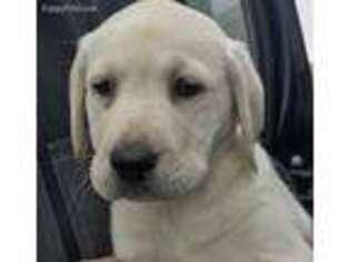 Labrador Retriever Puppy for sale in Mounds View, MN, USA