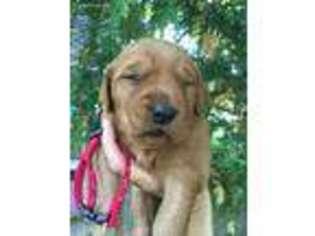 View Ad Golden Retriever Puppy For Sale Minnesota Goodland Usa