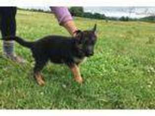 German Shepherd Dog Puppy for sale in Albany, NY, USA