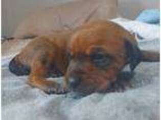 Rhodesian Ridgeback Puppy for sale in Marble, NC, USA