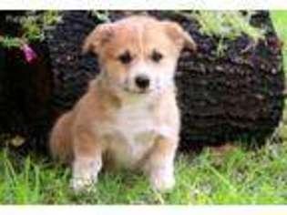 View Ad Pembroke Welsh Corgi Puppy For Sale Pennsylvania