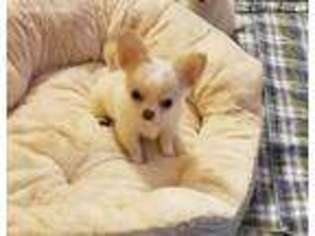View Ad Chihuahua Puppy For Sale Michigan Muskegon Usa