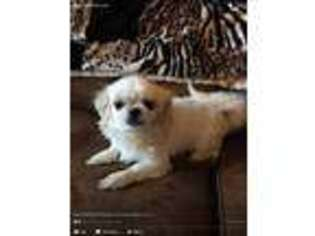 View Ad Mal Shi Puppy For Sale New York Syracuse Usa