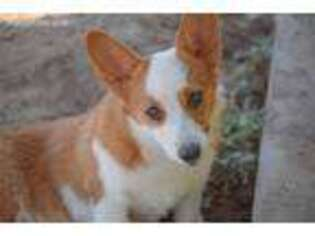 Puppyfinder Com Pembroke Welsh Corgi Puppies Puppies For Sale Near Me In Lubbock Texas Usa Page 1 Displays 10