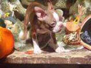 Boston Terrier Puppy for sale in Albuquerque, NM, USA