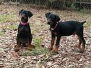 View Ad Doberman Pinscher Puppy For Sale Alabama Montgomery Usa