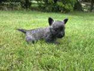 Puppyfinder com: Cairn Terrier puppies puppies for sale near me in