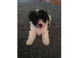 Havanese Dog For Adoption in Napoleon, OH, USA