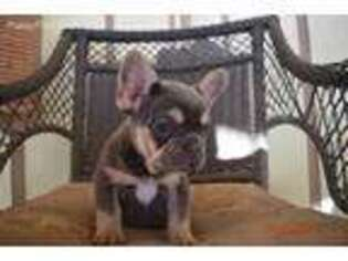 French Bulldog Puppy for sale in Pelsor, AR, USA