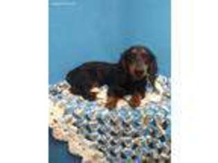 Dachshund Puppy for sale in Morganton, NC, USA