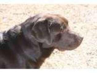 Labrador Retriever Puppy for sale in Kingsland, GA, USA