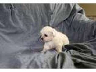 Pekingese Puppy for sale in Nevis, MN, USA