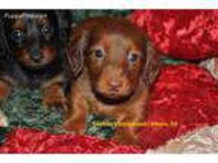 Puppyfinder com: Dachshund puppies for sale near me in Athens