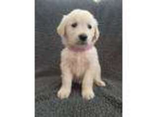 Golden Retriever Puppy for sale in Denver, CO, USA