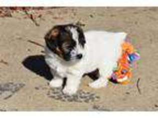 View Ad: Jack Russell Terrier Puppy for Sale near West