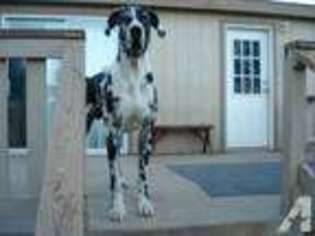 View Ad Great Dane Puppy For Sale Arizona Hereford Usa