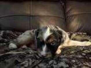 Australian Shepherd Puppy for sale in El Paso, TX, USA