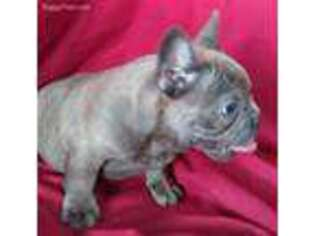 French Bulldog Puppy for sale in Colman, SD, USA