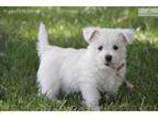 Puppyfinder com: West Highland White Terrier puppies puppies for