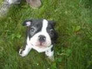 View Ad Boston Terrier Puppy For Sale Ohio Alliance Usa