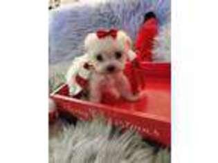 Maltese Puppy for sale in Miami, FL, USA