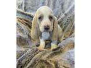 Basset Hound Puppy for sale in Longton, KS, USA