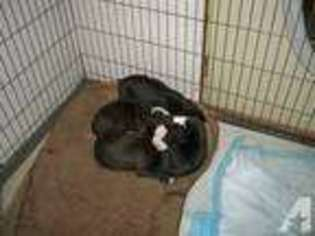 American Pit Bull Terrier Puppy for sale in ELKHART, IN, USA