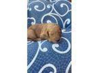 Goldendoodle Puppy for sale in Vergennes, IL, USA