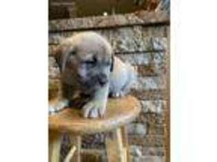 Cane Corso Puppy for sale in Toms River, NJ, USA
