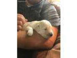 View Ad Goldendoodle Puppy For Sale Minnesota Maple Grove Usa