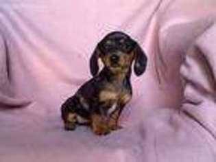View Ad Dachshund Puppy For Sale Michigan Byron Usa