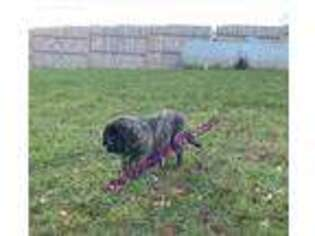 Mastiff Puppy for sale in South Bend, IN, USA