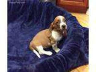 View Ad Basset Hound Puppy For Sale Florida Gainesville Usa