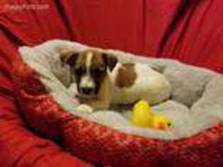 Jack Russell Terrier Puppy for sale in Mansfield, TX, USA