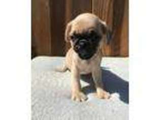 View Ad Pug Puppy For Sale Illinois Chicago Usa