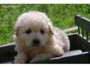 Goldendoodle Puppy for sale in Covina, CA, USA