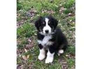 Australian Shepherd Puppy for sale in Greer, SC, USA