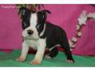 boston terrier rescue missouri view ad boston terrier puppy for sale near missouri 3275